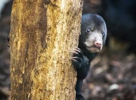 (تصاویر) توله خرس مالزیایی در نخستین تجربه فعالیت در باغ وحشی در هلند