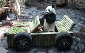 (تصاویر) جشن تولد نه سالگی خرس پاندا با و هدیه ماشین ساخته شده از بامبو در باغ وحشی در چین