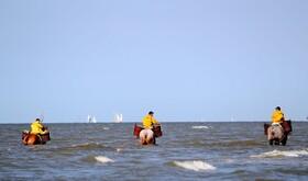 (تصاویر) پرورش دهندگان میگو در بلژیک با اسب در حال کار در سواحل دریا برای تغذیه میگوها
