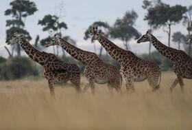 (تصاویر) پارک ملی ماسای مارا در کنیا