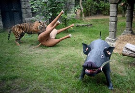 (تصاویر)باغ وحشی در اندونزی که حیوانات ساختگی را با گوشت پوشانده اند و به ببرسوماترایی هدیه داده اند