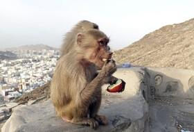 (تصاویر) حجاز در عربستان سعودی و میمون هایی که در نزدیکی کوه نور از دست حجاج عازم غار حرا میوه می گیرند