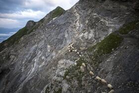 (تصاویر) چرای گوسفندان در کوه های آلپ در سوئیس