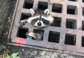 (تصاویر) راکونی در انتظار نیروهای امدادی در ماساچوست آمریکا که در پنجره های در فاضلاب گرفتار شده است