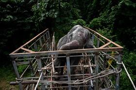 (تصاویر)رهاسازی فیلی که در یک منطقه مسکونی در اندونزی گرفتار آمده بود در طبیعت
