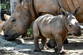 (تصاویر) کرگدن سفید تازه متولد شده در باغ وحشی در تایوان در کنار مادرش
