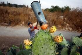 (تصاویر) کشاورز فلسطینی میوه های خاردار کاکتوس را از بوته های کاکتوس در کرانه غربی در رام الله برداشت می کند
