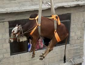 (تصاویر) گاوی که برای فروش برای عید قربان به بازاری در کراچی انتقال می یابد