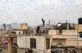 (تصاویر) مردی در صنعا پایتخت یمن در تلاش برای گرفتن ملخ