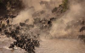 (تصاویر) گاوهای وحشی از پارک طبیعی سرنگیتی تانزانیا به ماسای مارا می روند