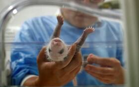(تصاویر) نوزاد پاندا تازه متولد شده