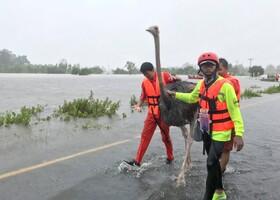 (تصاویر) نیروهای امدادی شترمرغی را از سیل و توفان در تایلند نجات می دهند