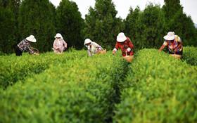 (تصاویر) برداشت چای در شاندونگ چین
