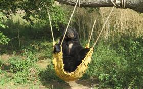 (تصاویر) خرس سیاه آمریکای جنوبی در پارک وبورن در انگلیس