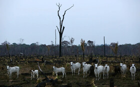 (تصاویر) چرای دام ها در جنگل های سوخته در برزیل