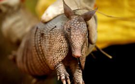 (تصاویر) نجات یک آرمادیلو از جانوران در معرض انقراض از آتش سوزی در جنگل های آمازون در برزیل