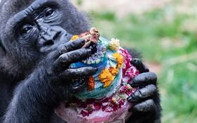 (تصاویر) جشن تولد گوریلی در باغ وحش فیلادلفیای آمریکا