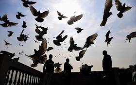 (تصاویر) کفتربازی در دهلی نود در حال پرواز دادن کبوترهایش