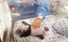(تصاویر) نگهداری پانداهای تازه متولد شده در باغ وحشی در بلژیک در شرایط ویژه