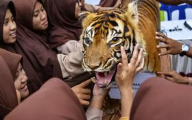 (تصاویر) دانش آموزان در آچه اندونزی در حال لمس کردن ببرسوماترای پرشده با کاه که برای آموزش حفظ حیاط وحش استفاده می شود