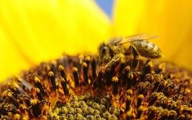 (تصاویر) زنبور عسل در ایداهو آمریکا