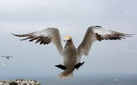 (تصاویر) غاز ماهی خوار دریای شمال در حال فرود در ساحل اسکاتلند