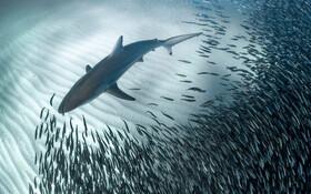 (تصاویر) کوسه و ماهی ها در ساحل غربی استرالیا