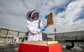 (تصاویر) پرورش زنبور برروی بام ساختمانی در لیورپول انگلیس