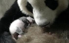 (تصاویر) خرس پاندایی در مرکز حفظ نسل پاندا ها در چین توله خودرا در بغل گرفته است