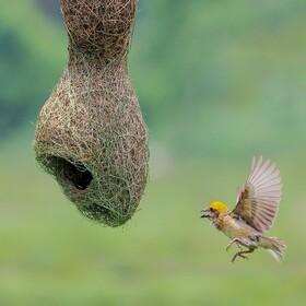 (تصاویر) لانه سازی  پرنده ای در هند