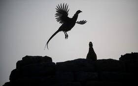 (تصاویر) قرقاولی در پارکی در دربی شایر در انگلیس