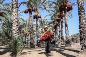 (تصاویر) برداشت خرما در دیرالبلاه در مرکز غزه