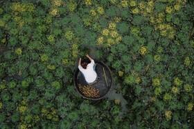 (تصاویر) بردات شاه بلوط دریایی در چین