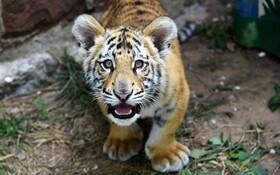(تصاویر) ببربنگال در باغ وحشی در جینان در چین