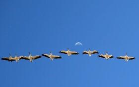 (تصاویر) پرواز پلیکان ها در ترکیه