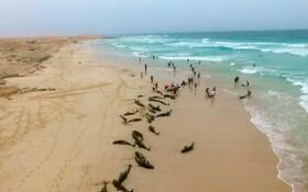 (تصاویر) خود کشی دلفین ها در جزیره کیپ ورده