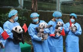 (تصاویر) جشن پانداها به مناسبت استقرار نظام کمونیستی در چین
