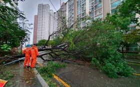 (تصاویر) سقوط درخت در خیابانی در کره جنوبی در اثر توفان