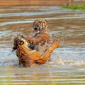 (تصاویر) درگیری دو ببر در مرکز نگهداری ببرهای در ایالت مادیاپرادش در هند