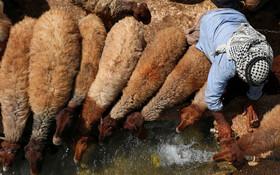 (تصاویر) چوپان فلسطینی در حال کمک به گوسفندان برای نوشیدن آب