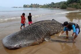 (تصاویر) فرد مسئولی در ساحل تالوک باتونگ در اندونزی لاشه نهنگ کوسه ای را اندازه گیری می کند