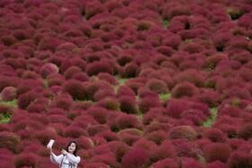 (تصاویر) مزرعه گیاه تاج خروس در هیتاجیناکا در ژاپن