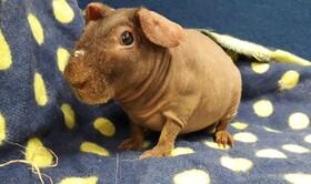 (تصاویر) نوعی خوکچه هندی بدون مو که در انگلیس نگهداری می شود