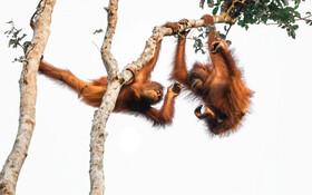 (تصاویر) کشتی دو اورانگوتان نوجوان روی درخت