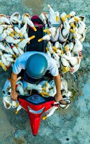 (تصاویر) غاز ها در حال عزیمت به بازار برای فروش در ویتنام