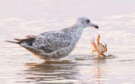 (تصاویر) فرار خرچنگ از دست مرغ ماهیخوار