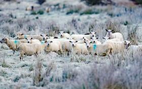 (تصاویر) گوسفند داری در ایرلند