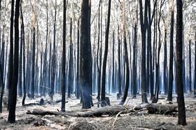 (تصاویر) درخت های سوخته در استرالیا