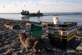 (تصاویر) گربه ها در ساحل سوشی در روسیه در انتظار ماهیگیران هستند