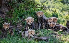 (تصاویر) هفت توله یوزپلنگ در پارک وحشی در کنیا به گفته کارشناسان یوز پلنگ های ماده معمولان حداکثر تاپنج توله یا کمتر زایمان می کنند و این هفت توله از نوادر است